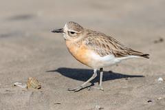 Dotterel Looking for Breakfast (Myreality2) Tags: beach waikato importedkeywordtags nature bird dotterel newzealand whangamata sea nz