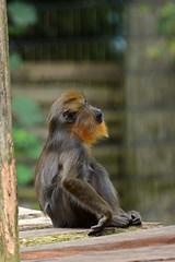 Mandrill im Ouwehands Dierenpark Rhenen (Ulli J.) Tags: zoo niederlande nederland netherlands paysbas nederlandene utrecht rhenen ouwehandsdierenpark mandrill mandril