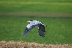 Heron In Flight (aaron19882010) Tags: heron flying water fields ely wildlife outdoors nature outside bird hunter fish eater long legs big wings canon 750d 600mm sigma