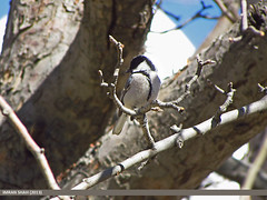 Cinereous Tit (Parus cinereus) (gilgit2) Tags: pakistan birds geotagged wings wildlife feathers location species hunza category avifauna aliabad gilgitbaltistan imranshah paruscinereus cinereoustitparuscinereus