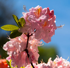 Soft and Beautiful (Jocey K) Tags: newzealand christchurch azalea christchurchbotanicgardens