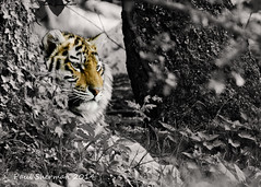 Standing Out (muppet1970) Tags: blackandwhite tree cub tiger bigcat captive tigercub banhamzoo colourpop