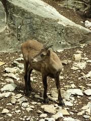 (planetphoto.fr.ht) Tags: male nature animal rock montagne pose natura solo instant animaux rare montain roche regard seul fourrure cailloux bouquetin cornes mousses