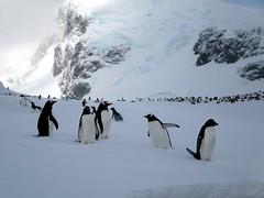 Cuverville Island Penguins (D-Stanley) Tags: penguin gentoo cuvervilleisland antarcticpeninsula