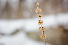 golden (aimeeern) Tags: winter canon pod weed michigan 60mm odc 60d