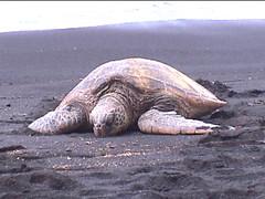 Turtle at Punalu'u Black Sand Beach