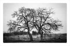 (Esmaeel Bagherian) Tags: tree blackwhite nikon branches   2015 1393  18105mm   d7000  esmaeelbagherian
