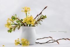 Blühende Kornelkirsche (rafischatz... www.rafischatz-photography.de) Tags: spring pentax gardening dogwood twigs tabletop flowerarrangement k3 bloomingtree europeancornel
