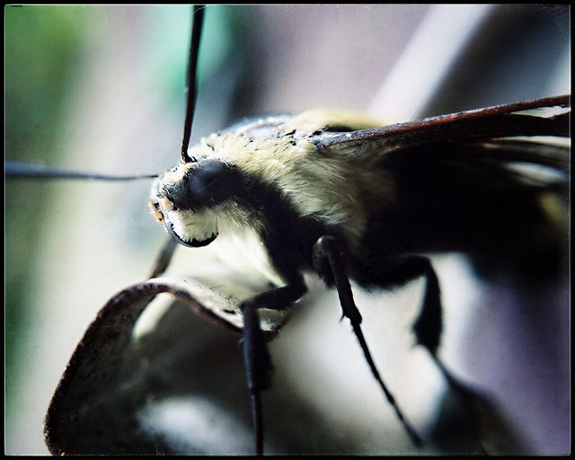 Hummingbird Moth -Textured