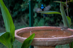 _MG_7754 (rojam1000) Tags: superb fairy variegated wren