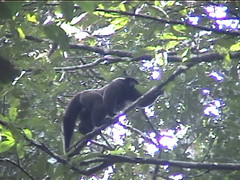 Woolly Monkey on the Go