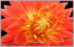 IMG_0407_e_1200 (sh10453) Tags: dahlia flowers usa macro nature closeup canon gardening michigan macroflowers canoneos5d canonlenses flickrelite