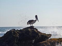 Pelicano (Yolande...) Tags: sea bird mexico zee pelican vogel pelikaan pelicao