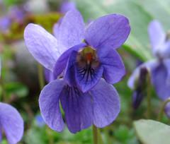 Viola odorata (beneventi2013) Tags: violaceae canonpowershota610 paolobeneventi