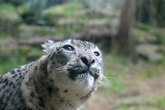 Now I See You (zenseas : )) Tags: seattle silly male washington leopard snowleopard eyeswideopen woodlandparkzoo unciauncia panthera brighteyed wpz nowiseeyou pantherauncia uncia dhirin