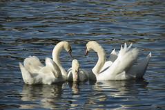 Zwanengeluk (LievenVM) Tags: blue baby white love swan heart care schwne zwanen