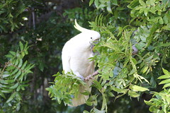 cooks-river-120716-012 (alison.klein) Tags: cockatoo australianbirds cooksriver