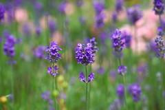 2016.07.014 Abbotsbury (97) (Kotatsu Neko 808) Tags: uk england gardens dorset subtropical abbotsbury abbotsburysubtropicalgardens