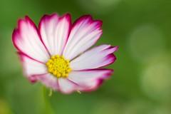 OMD05694 (Keishi Etoh rough-and-ready photoglaph) Tags: flower olympus omd em1 olympusomdemi microfourthirds asahioptsupermulticoatedtakumar50mmf14 asahiopt 100mm