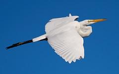 Jul 24 20165640 (Lake Worth) Tags: animal animals bird birdwatcher birds canonef500mmf4lisiiusm canoneos1dxmarkii everglades feathers florida nature outdoor southflorida waterbirds wetlands wildlife wing