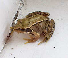 Tiny (Martha-Ann48) Tags: froglet frog amphibian green common garden water