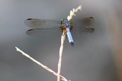 Dragonfly 7 (RZaichkowski) Tags: highpark toronto july 2016 canonrebelt5 nature dragonfly
