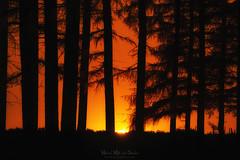 Bosque dorado (Mimadeo) Tags: forest sunset trees tree silhouette sun outdoors landscape dusk light woodland nature sunrise sunlight woods beautiful summer morning dark trunks