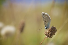 Azur dans les dunes (jf.cudennec) Tags: animal nature butterfly dune brittany summer smooth blue common closeup macro macrophotography canon 70d 100mm macrophoto insect entomology bokeh