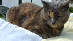 Josie (~ MCJ) Tags: josie 10yo greybluecreamtortoiseshell treatedforhyperthyroidismwithradioactiveiodinetreatment radioactiveiodinetreatmentcausedherhearttofailandshehasapoorprognosis notexpectedtolivepastmidoctober2016
