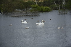 Rabbit Ings (245) (rs1979) Tags: rabbitings royston barnsley southyorkshire yorkshire pond muteswan muteswans swan swans cygnet cygnets