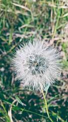 (jhonathanwillian) Tags: flor flowers flower planta verde green terra southamerica brasil brazil riodejaneiro rio dente leo macrolens macro