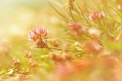 Scattering (charhedman) Tags: flowers light macro sunshine weeds bokeh clover