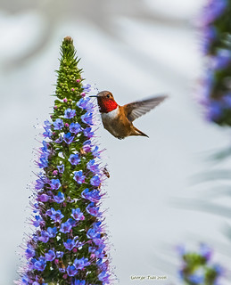 Red Scarf - Rufous Hummingbird