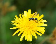 Potter Wasp (Nick Crown Photography) Tags: potterwasp