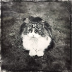 """Vilde"", the cat... (iEagle2) Tags: cat blackandwhite blackwhite bw iphone iphone4"