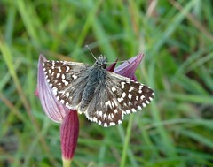 Grizzled skipper (rockwolf) Tags: france orchid butterfly insect flora indre lepidoptera papillon 2016 grizzledskipper labrenne rosnay rockwolf tongueorchid pyrgusmalvae serapiaslingua lescommunaux