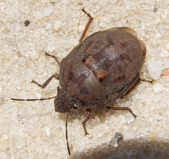 Shield-backed Pine Seed Bug, Tetyra bipunctata, Francis Garbiske Airport, Westhampton, NY (Seth Ausubel) Tags: hemiptera scutelleridae