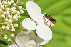 Wesp in de tuin (cindydebree.nl) Tags: foto7weekse f7w insect tuin hortensia wesp bloem flower flor fiori garden garten jardin 100mm canon canoneos100d canonnl