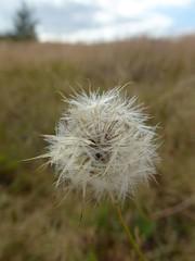 One puff and it's gone (DannyRed55) Tags: grass heath meadow field blackheath albury
