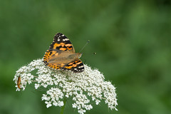 Painted Lady (finor) Tags: sony alpha a6000 sal70400g2 ilce6000 mirrorless nature animals insects butterfly paintedlady vanessacardui distelfalter