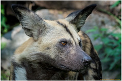 Lycaon pictus (gosammy1971) Tags: wild dog wildhund lyacon pictus animal tier natur nature black brown eyes