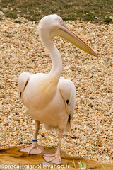 DSC_2321 (Pascal Gianoli) Tags: beauval bird oiseau pelican plican zoo zooparc saintaignansurcher centrevaldeloire france fr pascal gianoli pascalgianoli