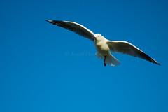 IMG_6273-2 (gsreejith) Tags: silvergull inflight birds birdinflight blue sky