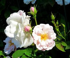 Blush Noisette Roses 29 July 2016 0371Ri 5x6 (edgarandron - Busy!) Tags: plants flower flowers rose roses blushnoisette