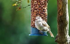 Innocence (dlanor smada) Tags: sparrows birds peanuts feeders birdfeeders