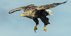 Incoming!!! (coopsphotomad) Tags: whitetailedeagle canon 7dmkii flight raptor nature wildlife blue talons beak feathers flying bif mull seaeagle eos