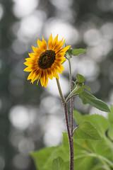 Sunflower (hoseph22) Tags: 700200f28 nikon sigma montana glacier national park glacial valley