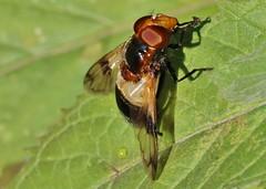 Gemeine Waldschwebfliege (Volucella pellucens) (Hugo von Schreck) Tags: gemeinewaldschwebfliege volucellapellucens fly fliege macro insect makro insekt hugovonschreck outdoor tamronsp90mmf28divcusdmacro11f017 canoneos5dsr onlythebestofnature hoverfly