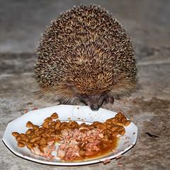"""""""Ben quoi, moi aussi j'ai faim"""" Riri le hrisson (jjcordier) Tags: hrisson manger piquant animal nocturne erinaceinae"""