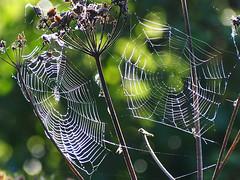 webs (mark.griffin52) Tags: olympusem5 england buckinghamshire cheddington nature droplets water raindrops rain spidersweb webs